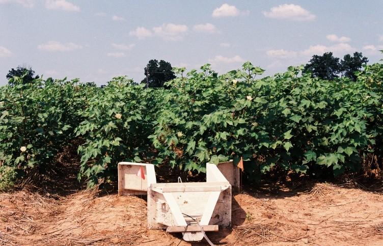 Economics Favor Planting Cotton Behind Wheat