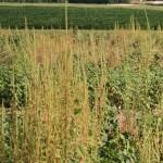 Pigweed Cotton