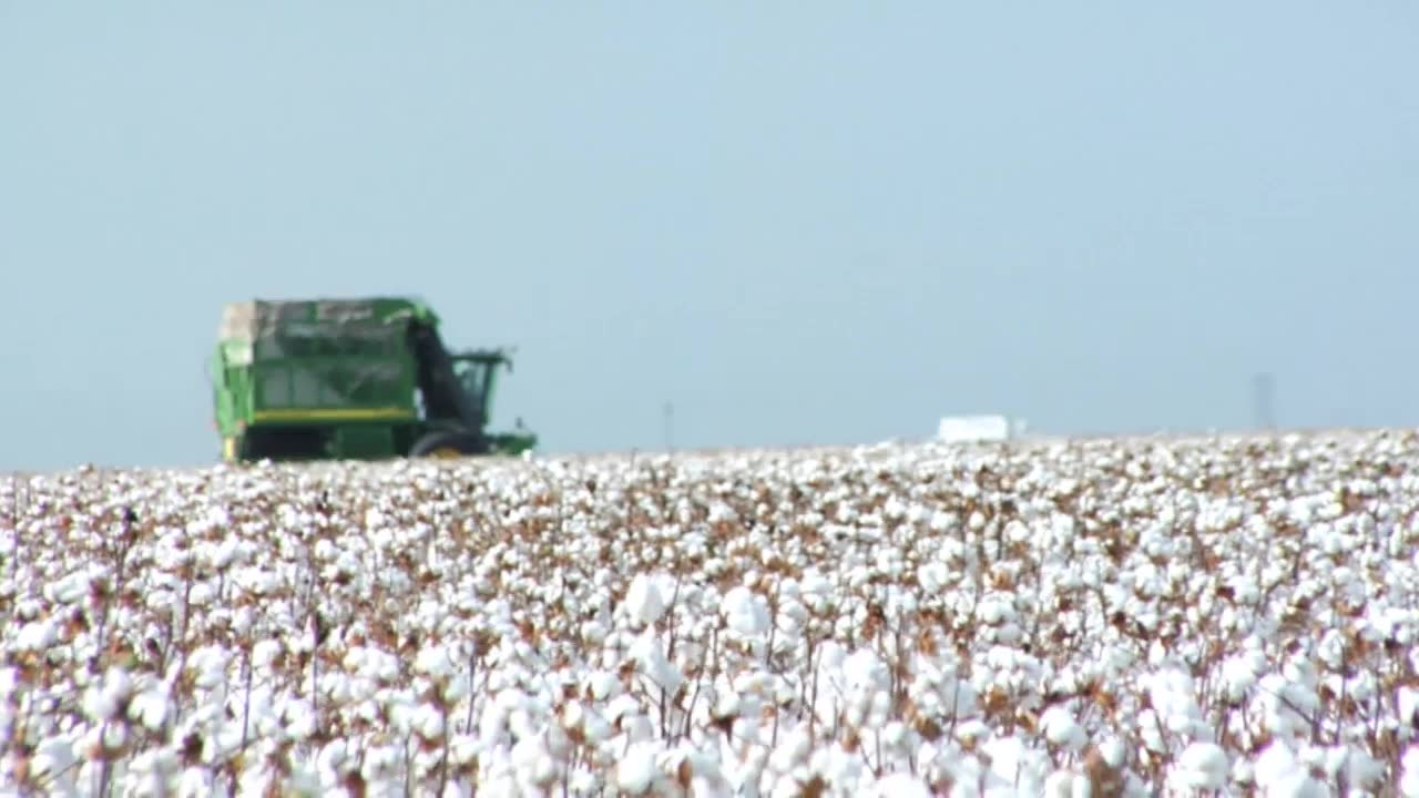 Battling Cotton's Yield-Robbing Insect Pests