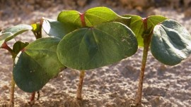 Young Cotton Plant