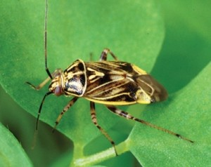 Plant Bug Web 2