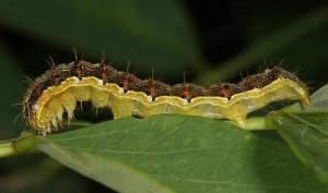 oldworldbollworm web