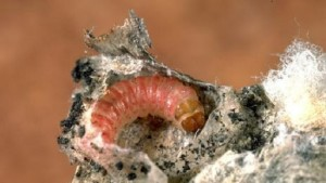 Pink Bollworm Driving India Cotton Estimates Down