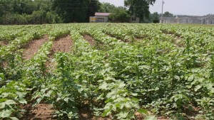 Cotton Weeds Next Target for See & Spray