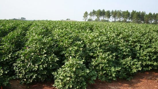 2017 Looks Like a Good Year for SC Cotton Growers