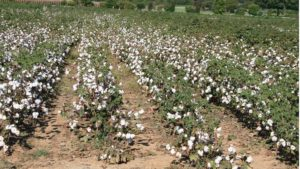 Cotton Market Facing Price Pressure