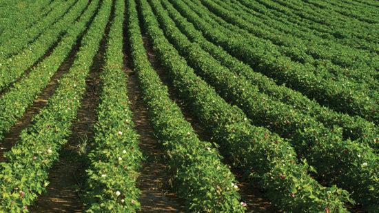Indigo Offers Premium for Indigo Cotton Production