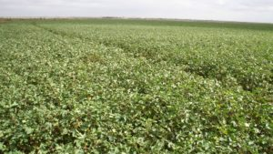 Texas High Plains Variety Trial Results Now Online