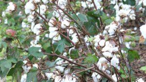 Georgia Cotton Losses to Irma Estimated at 10%