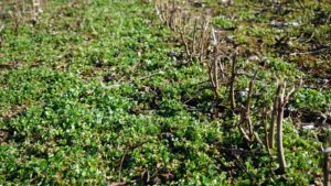 Research Shows Long-Term Economic Impact of Cover Crops